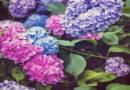 Ορτανσία: Άνθη όλο το καλοκαίρι